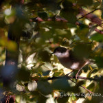 Occhiocotto (Sylvia melanocephala)