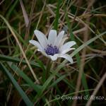 Anemone stellata (Anemone hortensis)