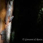 Picchio rosso mezzano (Dendrocoptes medius)
