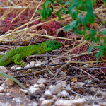 Ramarro occidentale (Lacerta bilineata)