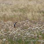Rondine (Hirundo rustica)