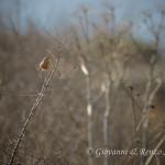 Beccamoschino (Cisticola juncidis)