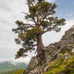 Un grandioso Pino Loricato con le radici aggrappate alla roccia