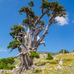 Pino Loricato sulla cresta Sud di Monte Pollino