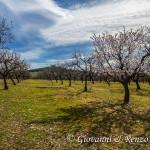 Mandorli in fiore ai piedi di Castel del Monte