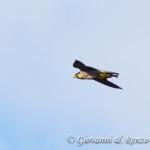 Falco pellegrino con preda