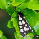 Arctia villica