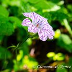 Geranio striato (Geranium versicolor)