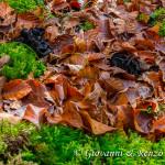 Trombette dei morti (Craterellus cornucopioides)