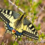 Macaone (Papilio machaon Linnaeus, 1758)
