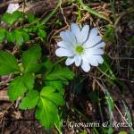 Anemone dell'Appennino (Anemone apennina L., 1753)