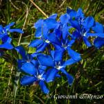 Genzianella di primavera (Gentiana verna L., 1753)