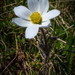 Anemone alpina (Pulsatilla alpina (L.) Delarbre)