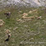Camosci nella sella tra Monte Marsicano e Monte Ninna