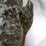 Rampichino alpestre (Certhia macrodactyla)