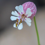 Silene rigonfia (Silene vulgaris (Moench) Garcke)
