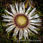 Carlina bianca (Carlina acaulis L. 1753)