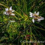 Stella alpina (Leontopodium alpinum Cass., 1822)