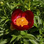 Peonia pellegrina (Paeonia peregrina)