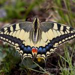 Macaone (Papilio machaon)