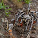 Tarantola (Lycosa tarantula)