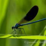 Damigella (Calopteryx splendens) maschio