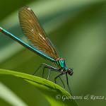 Damigella (Calopteryx splendens) femmina