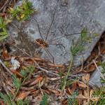 Falangio o ragno della campagna (Phalangium opilio)