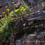 Sordone (Prunella collaris)