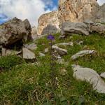 Ormino (Horminum pyrenaicum)