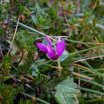 Ciclamino delle Alpi (Cyclamen purpurascens)