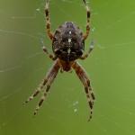 Ragno crociato (Araneus diadematus)
