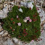Cinquefoglia delle Dolomiti (Potentilla nitida)
