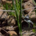 Ascalafo Bianco (Libelloides coccajus)