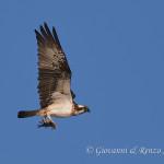 Falco pescatore (Pandion haliaetus)