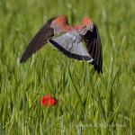 Grillaio (Falco naumanni)