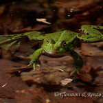 Rana comune o rana verde (Pelophylax esculentus)