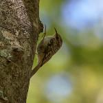 Rampichino alpestre (Certhia familiaris)