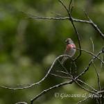Fanello (Linaria cannabina)