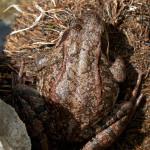 Rana montana (Rana temporaria)