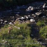 Camoscio alpino (Rupicapra rupicapra)