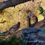 Ghiandaia (Garrulus glandarius)