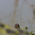 Passera scopaiola (Prunella modularis)