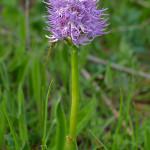 Orchidea italica (Orchis italica)