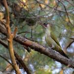 Picchio verde (Picus viridis)