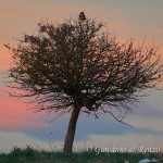 Poiana su albero al tramonto