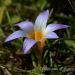 Zafferanetto comune (Romulea bulbocodium)