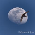 Il rondone e la luna