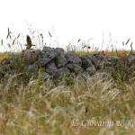 Calandra (Melanocorypha calandra)