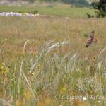 Il falco di palude ed il lino delle fate